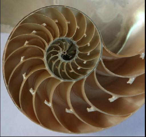 Spiral in the Seashell