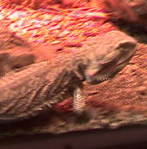 Here's a lizard in panning, interlaced video, showing both fields at once.